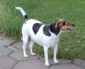 Danish Swedish Farm Dog