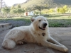 American White Shepherd