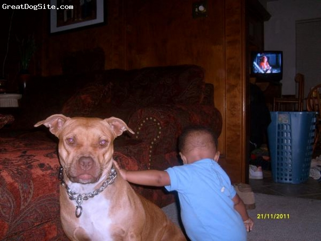 Related Searches for red nose staffordshire bull terrier