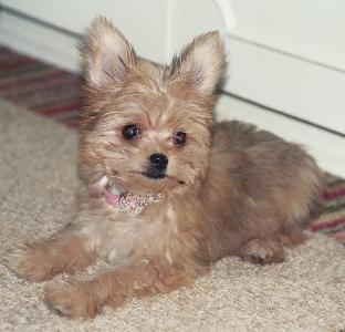 http://www.greatdogsite.com/resources/photos/from_owners/Chorkie-1233718062.jpg