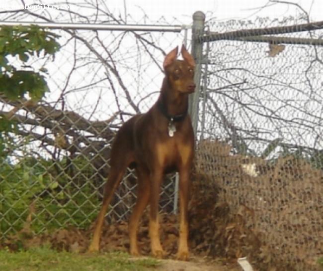 Precious Dog Bio Doberman%20Pinscher-watermarked-1220071056