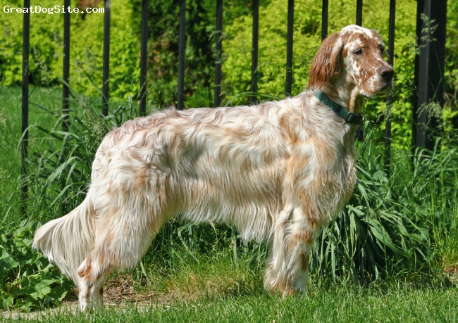 English Setter Energetic Dog
