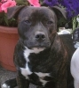 Irish Staffordshire Bull Terrier