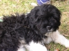 Miniature Littlefield Sheepdog