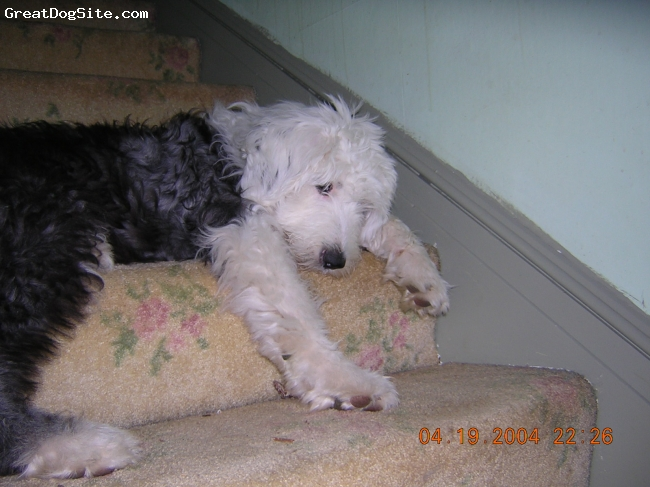 old english sheepdog  1