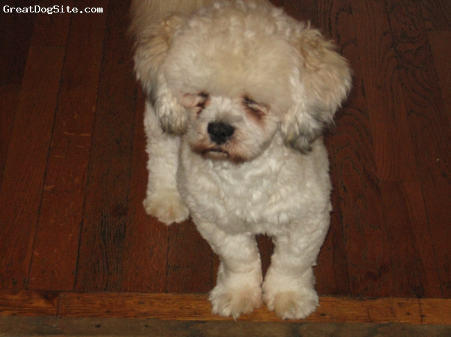 cockapoo puppies for sale in michigan. cockapoo puppies for sale in