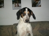 Treeing Walker Coonhound