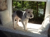 Wirehaired Fox Terrier