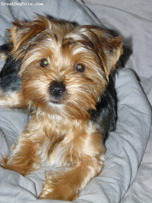 silver yorkshire terrier 7 10 from 76 votes silver yorkshire terrier ...
