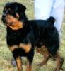 free rottweiler puppies ny
