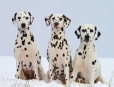 http://www.greatdogsite.com/uploaded_files/thumbnails/Dalmatian-1.5%20years-Black%20and%20White-87.099489795918x_1187680642114.jpg