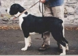 Belgian Mastiff
