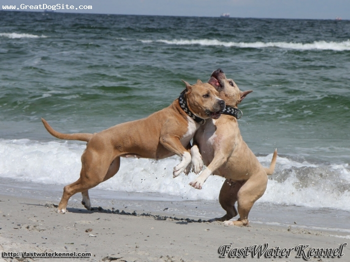 ... American Staffordshire Terrier Photos American Staffordshire Terrier