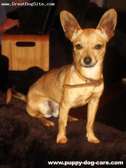 Go Back > Gallery For > Light Brown Chihuahua Mix Black And White Short Hair Chihuahua