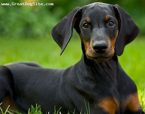 Doberman Pinscher, 4 months, Black, young Doberman