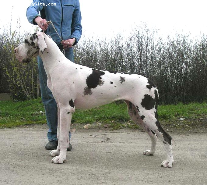 Related Searches for harlequin great dane breeders