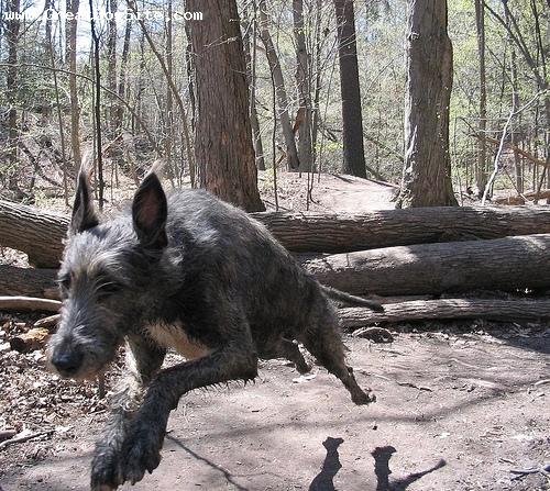 Irish Mastiff, Mastiff / Irish Wolfhound Hybrid Dogs, Irish Mastiffs ...