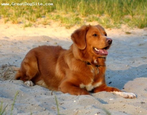 Breed Nova Scotia duck Nova Scotia Duck Tolling Retriever Cross Collie