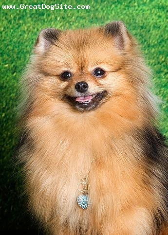 Brown pomeranian - photo#15