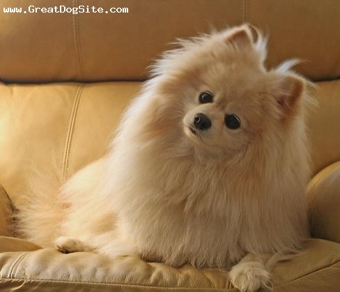 Brown pomeranian - photo#9