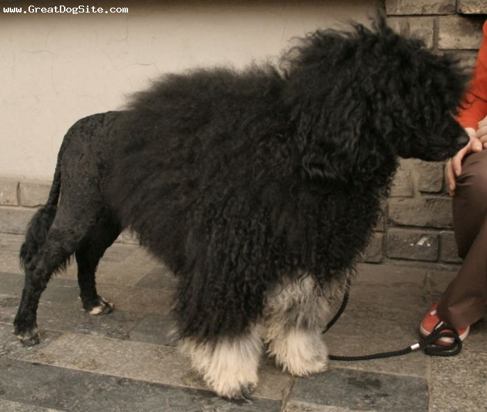 Portuguese Water Dog, 2 years, Black, white feet