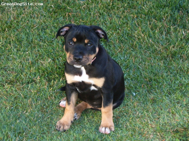 https://www.greatdogsite.com/resources/photos/from_owners/Staffordshire%20Bull%20Terrier-watermarked-1229458767.jpg