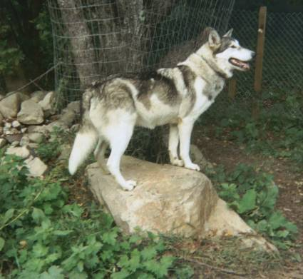 Native American Indian Dog Greatdogsite